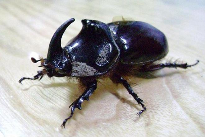 90 bin dolarlık böcek Sarıyer'de bulundu