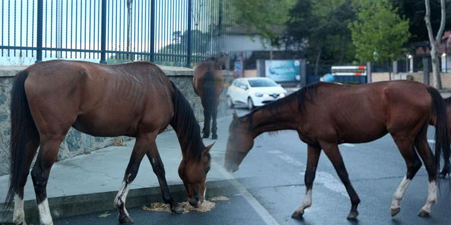 Sarıyer'de başıboş atlar trafiği durdurdu!