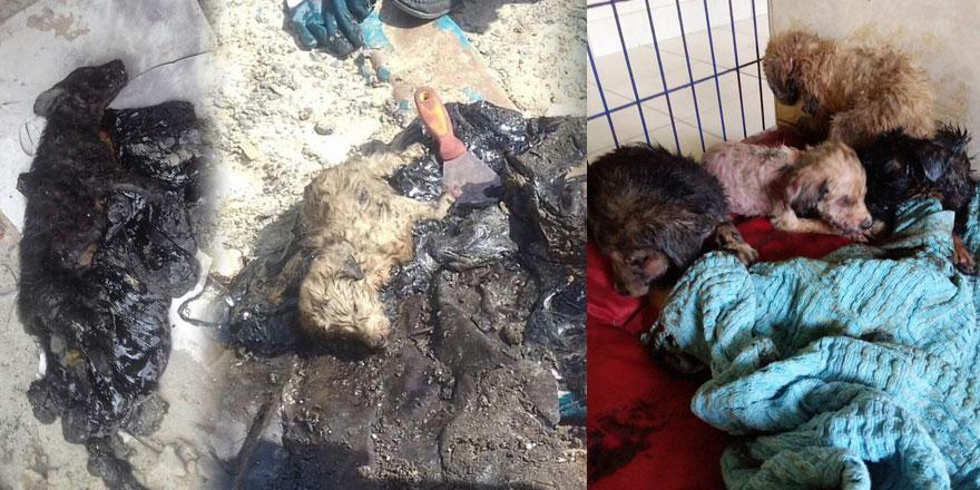 Zifte bulaşan yavru köpekler hayata döndürüldü