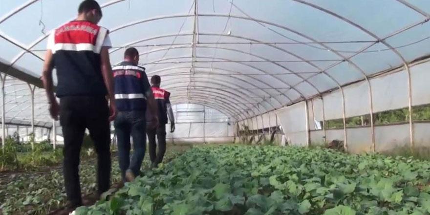 Sarıyer'de organik tarım arazisinde 'hint keneviri' çıktı!