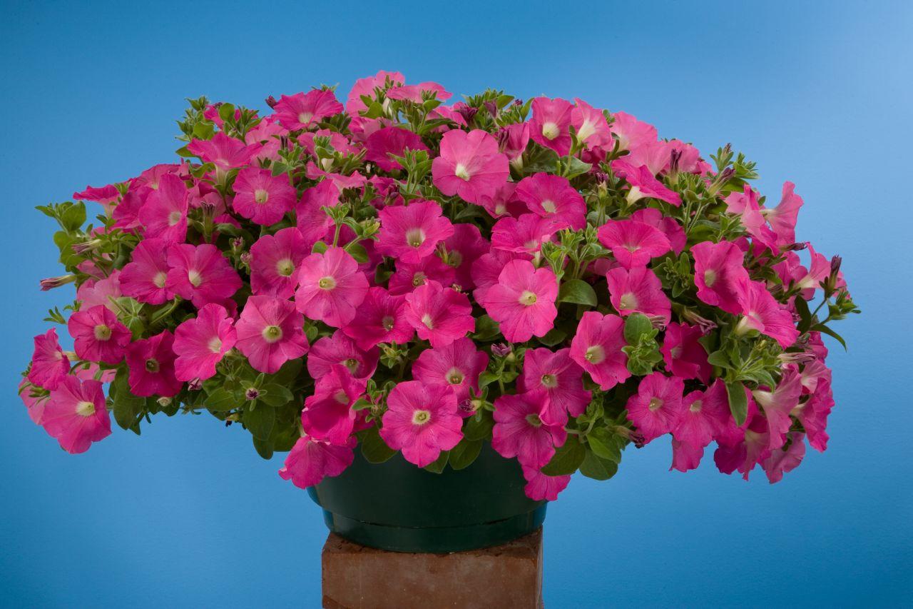 Kuruyan Saksı Çiçekleri Nasıl Canlandırılır?