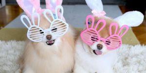 Pomeranian Boo Köpeği Özellikleri