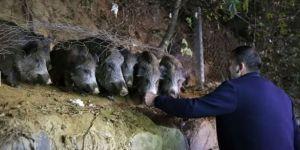 Yaban domuzlarını elleriyle besliyorlar